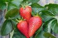 Українських працівників просять повернути на естонські поля полуниці