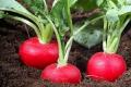 Експерти прогнозують високі ціни на ранні овочі відкритого ґрунту