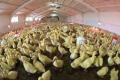 Через грип птиці у Франції вже знищили понад 2 млн голів птиці