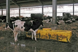 У «Кищенцях» для корів виробляють відновлювану підстилку з гною