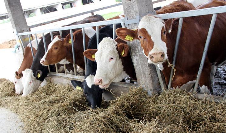 Фермеру потрібно 1,5 га землі на корову для забезпечення кормами