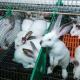У 2019 році підприємства відправили на забій на 3,8% менше кролів