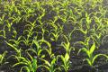 Дано рекомендації щодо живлення кукурудзи на зафосфаченому ґрунті