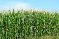 Кукурудзі не подобаються фосфорні добрива «про запас», — дослідження