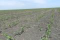 Унесення калійних добрив на зафосфаченому ґрунті підвищує вміст фосфору в кукурудзі