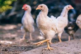 Наслідки інфекційного бронхіту курей у молодої птиці значніші, ніж у дорослої