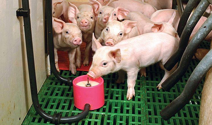 Для випоювання поросят замінником молока треба готувати порцію на одне годування