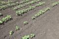 За певних умов застосування регулятора росту на соняшнику знижує врожайність