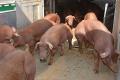 Свинарів звільнили від сплати ПДВ за імпортованих чистопорідних тварин