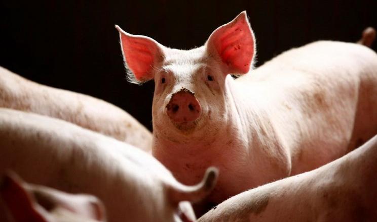 Ціни на свинину живою вагою зросли до 44-46,5 грн/кг