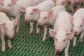 Профілактика ензоотичної пневмонії свиней дозволяє ефективно контролювати й ускладнення