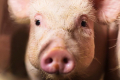 Свинопоголів'я в Україні за чотири місяці скоротилося на 6,2%