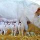 Великі свиногосподарства утримують 75% промислового поголів'я