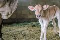 За утримання корів бюджетну дотацію отримають 252 господарства