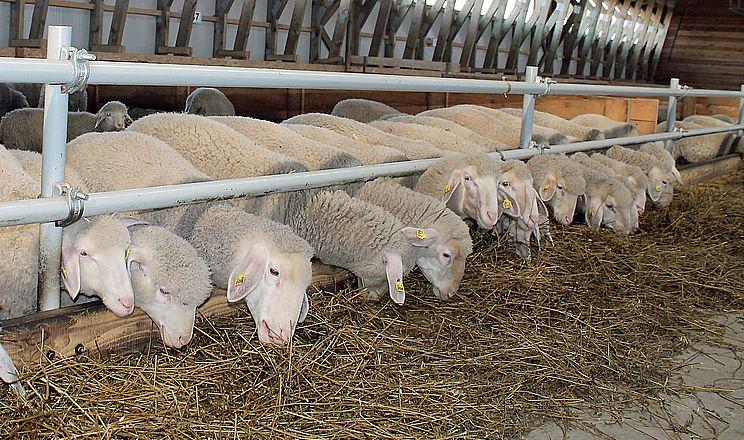 На Київщині запрацювала ферма з відгодівлі овець і бичків