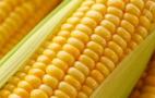 Ціна на цукрову кукурудзу формується у південних областях