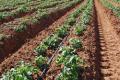 Урожайність картоплі на Чернігівщині потроїлася завдяки поливу