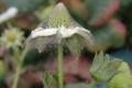 Боротьбу з павутинним кліщем на полуницях починають, поки популяція шкідників нечисленна