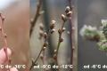 Польські виробники лохини рахують перші втрати і готуються до наступних заморозків