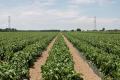 Верхівкової гнилі можна позбутися, регулюючи полив, – фермер