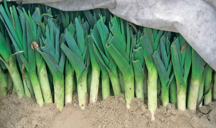 Цибуля порей із розсади