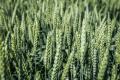 Обробка зернових ретардантами дає кращий ефект у фазу кущіння