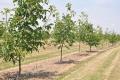 Приштамбова смуга ґрунту в саду потребує обробітку