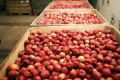 Яблука в гривнях подешевшали на 1%, а в доларах – на 13%