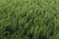 Урожайність ярих культур на Вінниччині істотно нижча, ніж торік