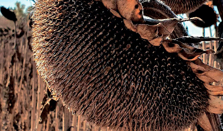 Соняшник: вітчизняні гібриди підвищують прибуток