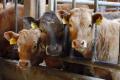 Як дбають про комфорт бичків і овець на сучасній фермі