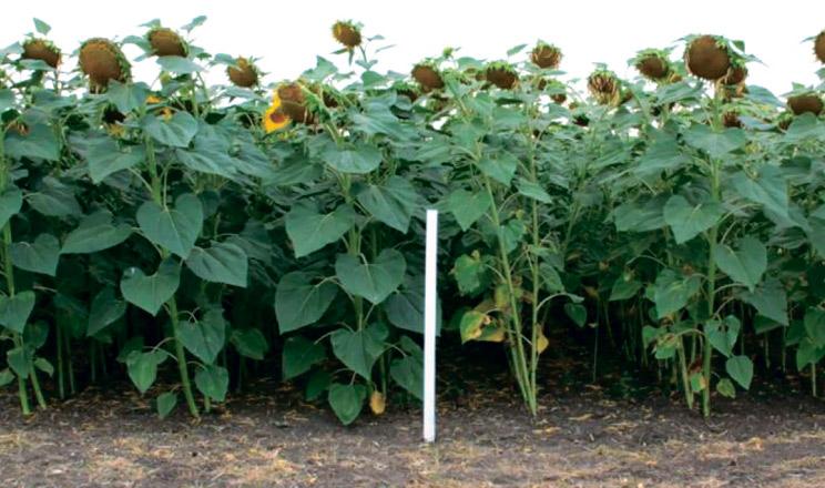 Новий фунгіцид Фокс® уже успішно апробували сільгоспвиробники по всій Україні