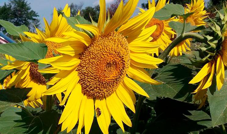 Вирощування соняшнику з використанням пестицидів, мікродобрив та регуляторів росту