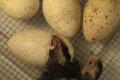 Кілька способів покращити результати інкубації індичих яєць