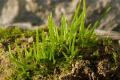 В геномі антоцеротових мохів учені виявили гени, що здатні підвищувати урожайність культур