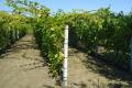Селекціонер поділився повною схемою оброблення винограду