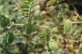 Уміст білка у нуті залежить від рівня агротехніки вирощування культури