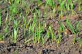 Коли краще поливати пшеницю озиму при вирощуванні в умовах Степу