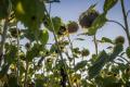 Визначено одну з причин пригнічення посівів соняшнику за мінімального обробітку ґрунту
