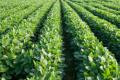 Одне з підприємств МХП експериментує зі зменшенням норми висіву сої