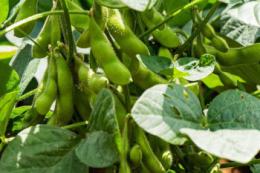 До 2050 року урожайність основних культур у світі знизиться на 10%, – прогноз