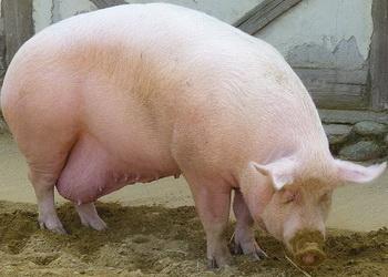 Структурована клітковина запобігає захворюванням кишківника свиноматок