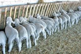 Йорданія потіснила Туреччину у трійці найбільших покупців українських овець і кіз