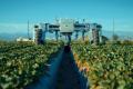 Agrobot змагається з людьми на збиранні полуниці