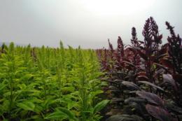 Виробники амаранту запускають екологічний проєкт для покращення стану ґрунтів