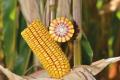 Завдяки новій технології урожайність кукурудзи в «Кусто Агро» зросла на 20%