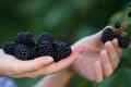 Ожину з найбільшої плантації BerryMore Active планують експортувати
