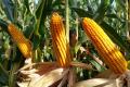 Насіннєвий комплекс Corteva Agriscience в Україні здійснив перший експорт напряму іноземному сільгоспвиробнику