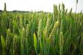 Лише деякі сорти пшениці озимої стійкі до комплексу хвороб, — дослідження