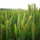 Вчені зробили серйозний крок до виведення нових високоврожайних сортів пшениці і ячменю